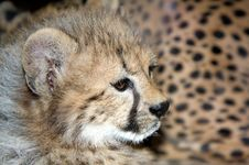 Free Cheetah Cub Royalty Free Stock Photo - 14937845