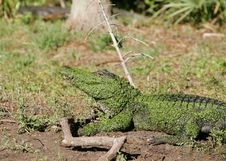 Free Alligator 2 Stock Image - 14938081