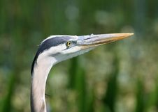 Free Blue Heron Royalty Free Stock Photography - 14938097