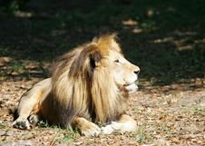 Free Lion 1 Royalty Free Stock Photo - 14938165