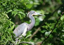 Free Blue Heron Royalty Free Stock Photos - 14938178