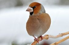 Free Hawfinch Royalty Free Stock Photos - 14939478