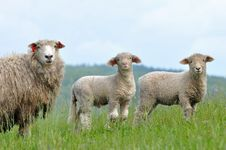 Free Cute Lambs With Its Mother. Stock Images - 14939534