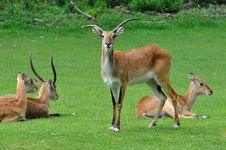 Antelope Royalty Free Stock Photos
