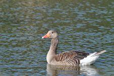 Free Greylag Goose Royalty Free Stock Image - 14939596