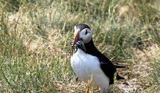 Free Puffin Stock Photo - 14939690