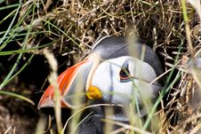 Free Puffin Royalty Free Stock Photography - 14939797