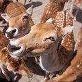 Free Friendly Deer Stock Photo - 14943420
