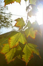 Free Autumn Leaves And Bright Sun Light Stock Photo - 14944880