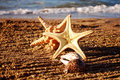 Free Starfishes And Cockleshells Stock Photography - 14948132