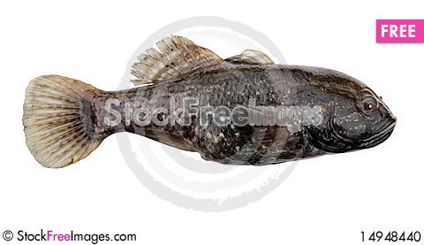 Free Predator Freshwater Fish Stock Photo - 14948440