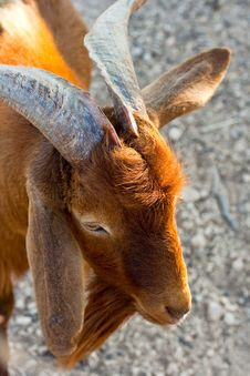 Free Goat Stock Photo - 14941420