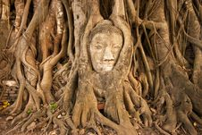 Free Buddha S Head In The Tree Royalty Free Stock Images - 14941749