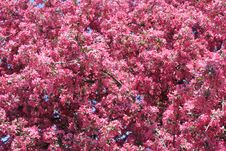 Flowering Tree Royalty Free Stock Images