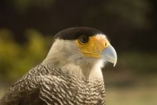 Free Carcara Eagle Royalty Free Stock Photo - 14943195