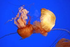 Free Jellyfish Stock Photos - 14943233