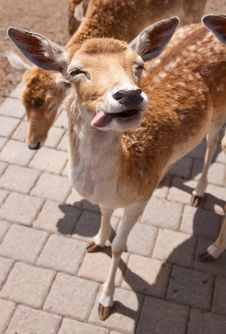Free Friendly Deer Royalty Free Stock Photography - 14943417