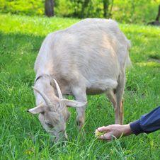 Free Goat Feeding Grazing Stock Image - 14944061