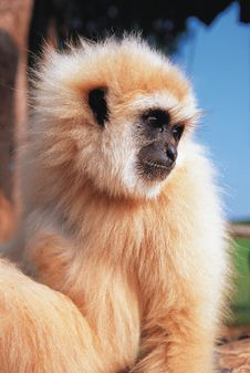 Free Gibbon Royalty Free Stock Image - 14944696