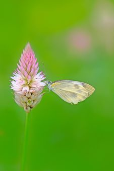 Free Butterfly Stock Images - 14945064
