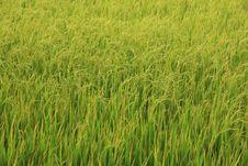 Free Green Rice Field Stock Photo - 14945670