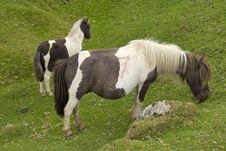 Free Dartmoor Ponies Royalty Free Stock Images - 14946119