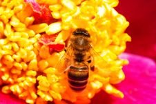 Free Bee On The Flower Stock Image - 14948591