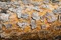 Free Pine Bark Texture. Stock Image - 14952961
