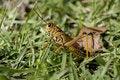 Free Floridian Coloured Grasshopper Stock Image - 14953251