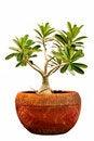 Free Pink Bignonia  In Flowerpot Royalty Free Stock Image - 14958286