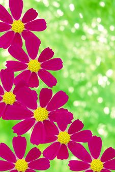 Flowers  Camomiles  Red  Petals Stock Photo