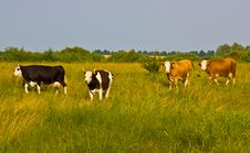 Free Cows Come From Pasture Royalty Free Stock Images - 14952599