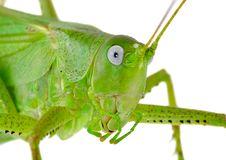 Free Locust Stock Photography - 14953082