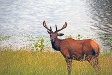 Free Bull Elk Stock Image - 14953181