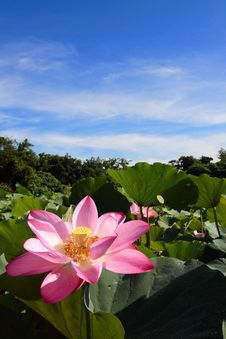 Free A Pink Lotus Under Blue Sky Royalty Free Stock Image - 14953576