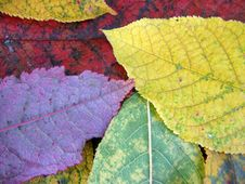 Free Colored Leaves Of Autumn Royalty Free Stock Photos - 14953988