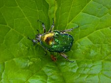 Free The Flower Chafer On A Leaf Royalty Free Stock Photo - 14954405