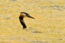 Free Great Crested Grebe Caught In Yellow Stock Photography - 14954762