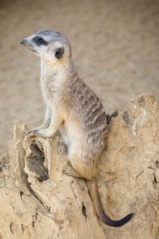 Free Meerkat (southern African Mongoose) Royalty Free Stock Images - 14955379
