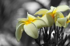 Free Selective Color Flowers Royalty Free Stock Photo - 14955415