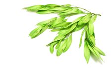 Free Acacia Seeds Stock Images - 14955844