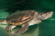 Alligator Snapping Turtle Royalty Free Stock Photo