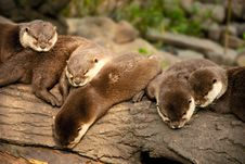 Free Resting Otters Royalty Free Stock Photography - 14956337