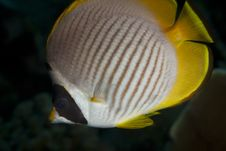 Free Panda Butterflyfish Royalty Free Stock Images - 14957719