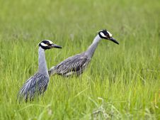 Free Yellow-crowned Night-heron Royalty Free Stock Images - 14957749
