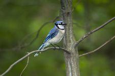 Free Blue Jay Stock Photos - 14957843