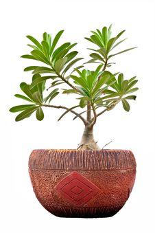 Free Pink Bignonia  In Flowerpot Stock Photo - 14958260