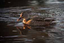A Female Mallard Duck Stock Image