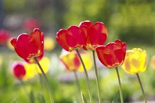 Free Red And Yellow Tulips Stock Images - 14959154