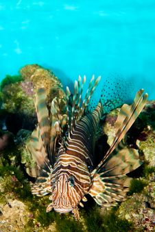 Red Volitan Lionfish Royalty Free Stock Image